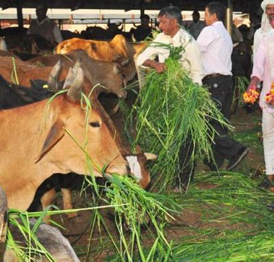 cows_eating_fodder